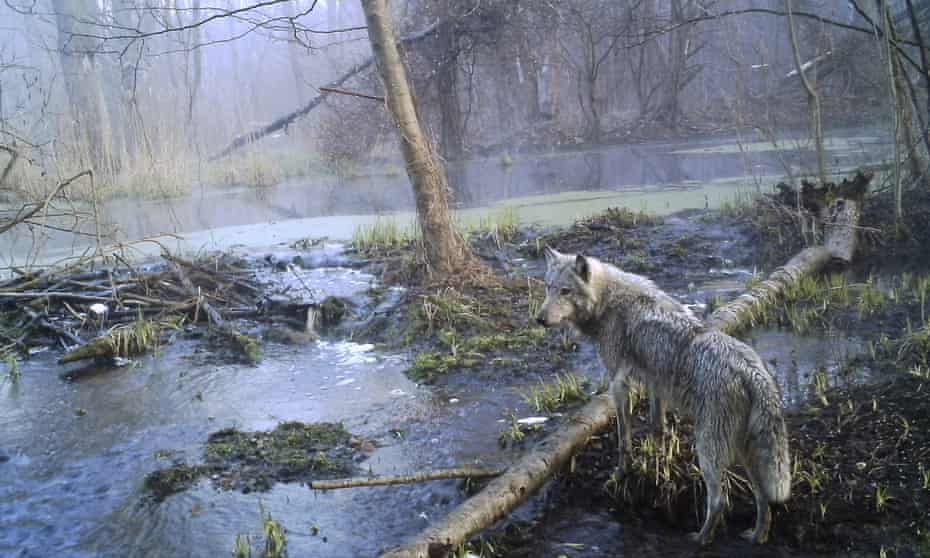 A wild wolf in the Polesie nature reserve, created after the Chernobyl disaster in Ukraine.