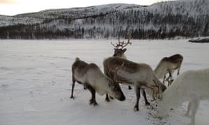 The very cold winter weather is good for reindeer, say the Sami herders