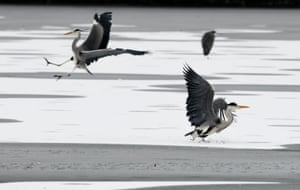 Grey herons approach for landing on the partially frozen Max-Eyth-See, an artificial lake in Stuttgart, southern Germany