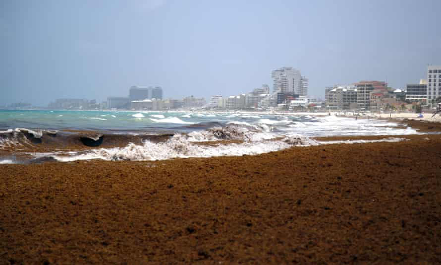 Seaweed blankets the beach in Cancun, Mexico. The huge influx of sargassum has hit most of the Caribbean this year and prompted cancellations from tourists. Photograph: Israel Leal/AP