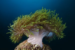A sea anemone in the Indian Ocean