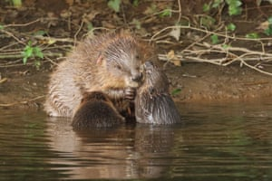 Beaver family, with some of the first kits to be born in the wild in England for hundreds of years, in Devon