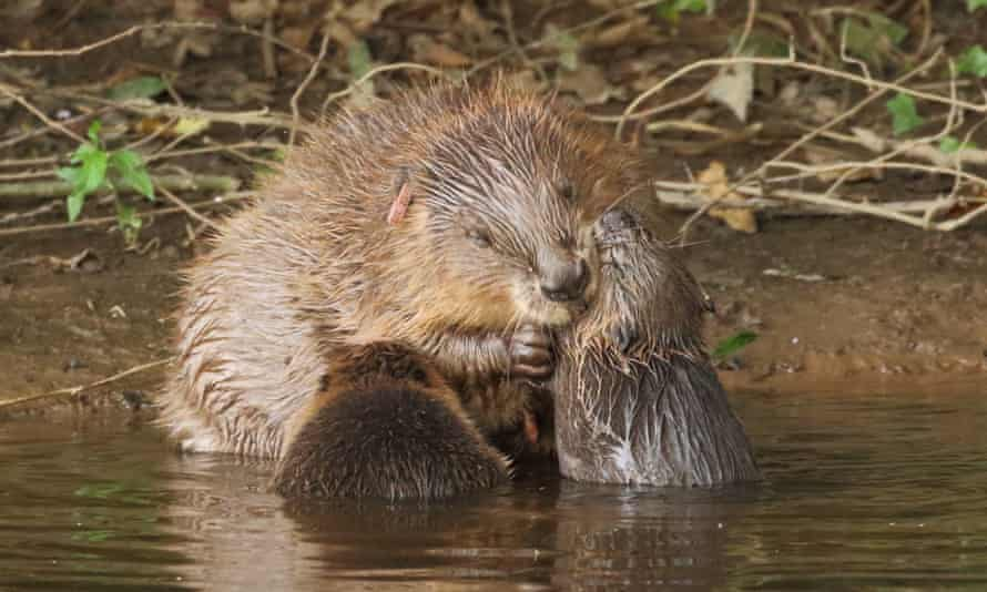 A beaver with kits on the River Otter