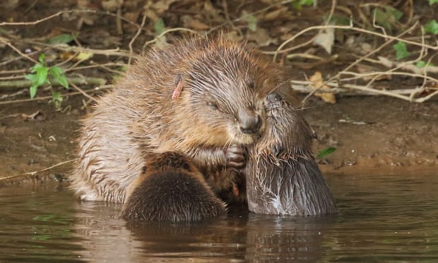 Beaver mother and children, photo by Mike Symes/Devon Wildlife Trust