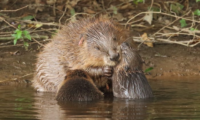 Beaver mum and kits; photograph: Mike Symes/Devon Wildlife Trust
