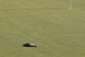 Cromwell, US: A turtle crosses the 15th green during the final round of the Travelers Championship golf tournament