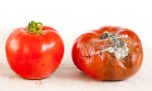 Ripe and rotten tomatoes