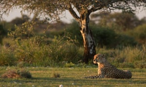 The Kgalagadi transfrontier park straddles Botswana and South Africa and is home to the cheetah and black-maned Kalahari lion.