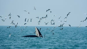 Bryde's whale forages in waters off Weizhou Island in China's Guangxi Zhuang autonomous region.
