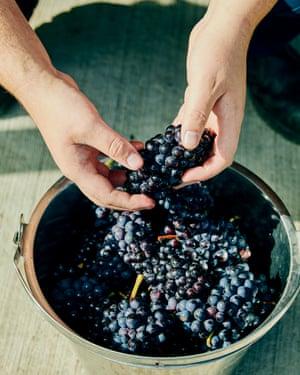 Grape harvest time.