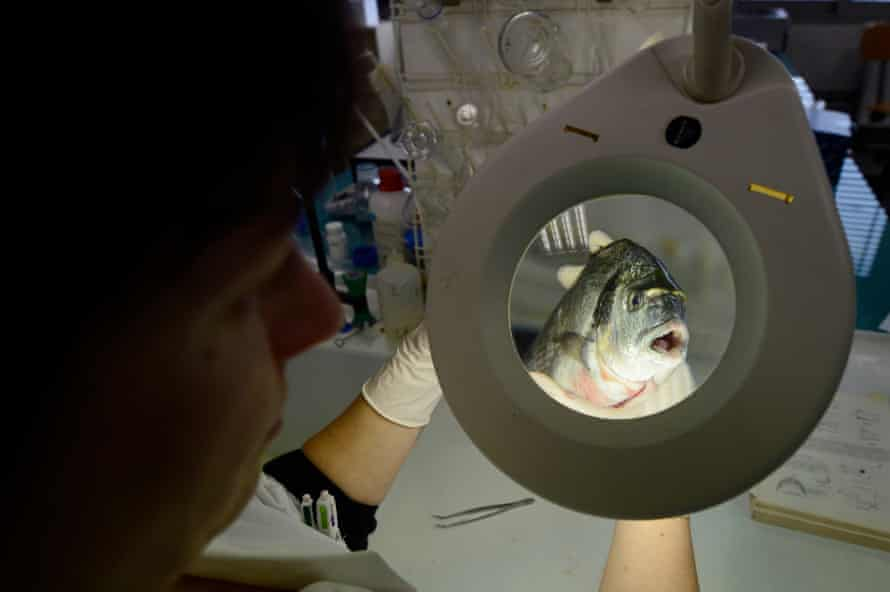 A chemist analyses a fish to identify its species, on 18 February 2013 at a laboratory in Marseille.