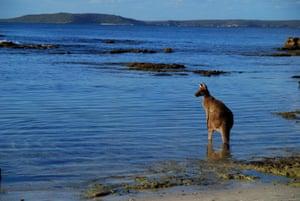 An eastern grey kangaroo surveys the shallows in Jervis Bay.