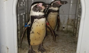 The stolen Humboldt penguins