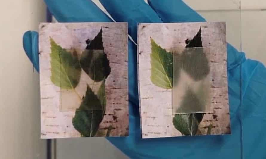 The transparent wood becomes cloudier (right) as it releases stored heat