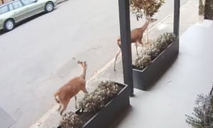 The two deer on the loose in the inner-Sydney suburb of Leichhardt earlier this month