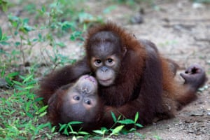 Two baby Sumatran orangutans play at a wildlife centre at Ratchaburi province in Thailand.
