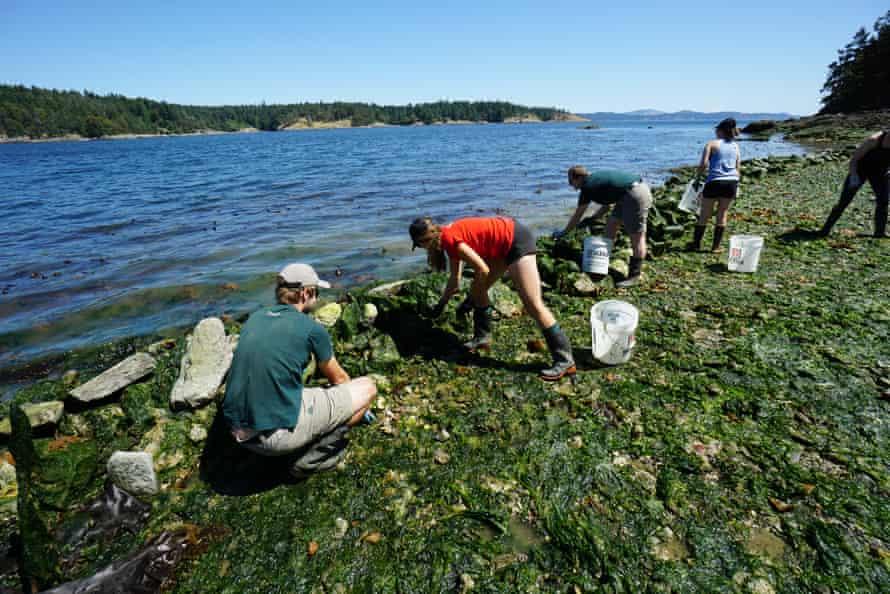 Clam garden restoration in British Columbia
