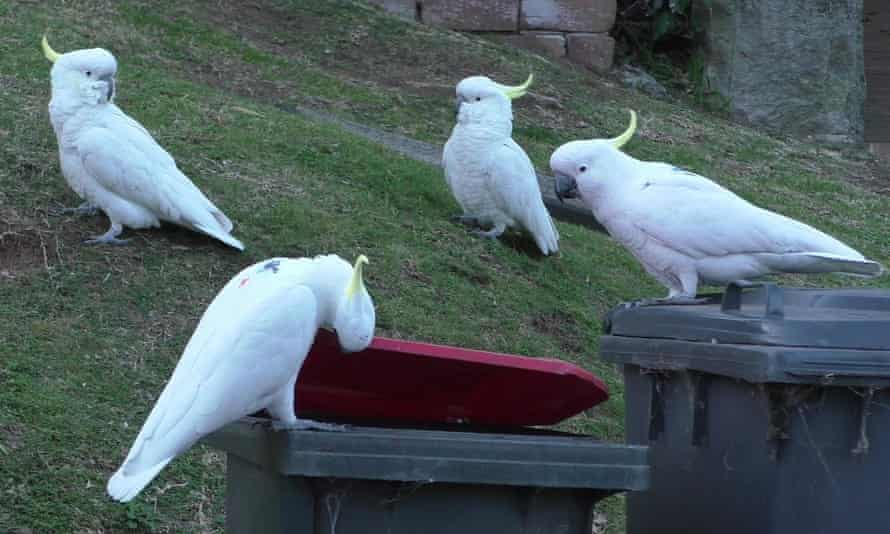 A group of sulphur-crested cockatoos wait for one of them to pry open a bin before sharing in the spoils.