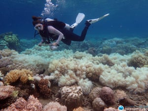A diver over bleached coral off Orpheus Island