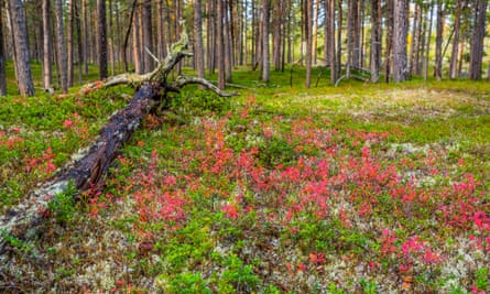Colorful plants in autumnal forest landscape in Finnish Lapland