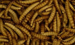 Freeze-dried buffalo worms reared for human consumption.