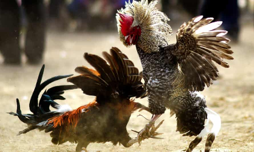 A traditional cockfight at the annual long Joon Beel festival in Morigaon district of Assam, India