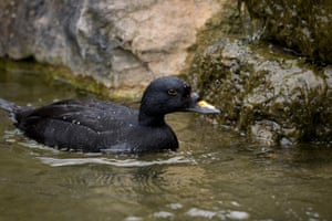 A common scoter swims by a rock