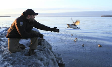 Guy Runco, director of the Bird Treatment and Learning Center, releases a common murre near the Anchorage small boat harbor.