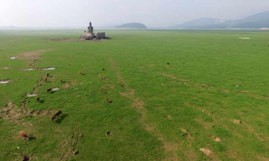 Cattle graze on the dried up bed of Poyang Lake in Jiangxi Province, China.