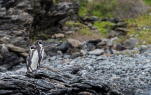 A couple of Humbolt penguins, a threatened species that only nests in Chile and Peru, stand on the rocks at Damas island, in front of Punta Choros beach, Coquimbo, Chile