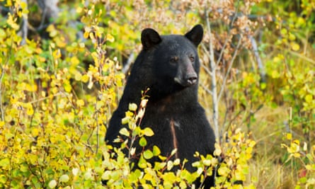a black bear in the woods