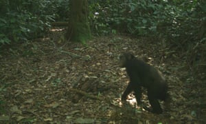 A chimp caught on camera trap in Olam's concession area