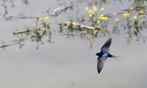 A swallow flies over Sava river in Belgrade, Serbia