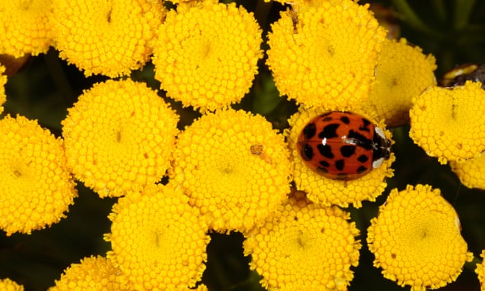 Invasion of the ladybirds! Why are these STI-infected insects taking