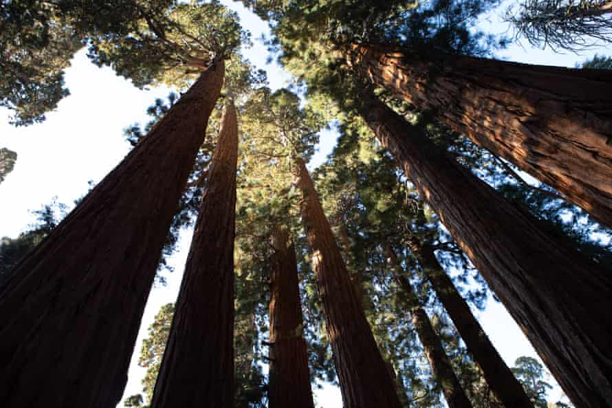 Looking up into the canopy of a group of healthy sequoias.