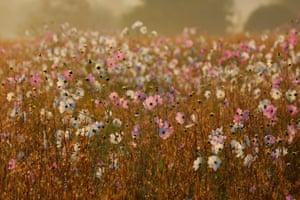 Cosmos flowers at dawn in Delta Park in Johannesburg, South Africa