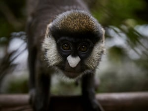 Mwamini, a red-tailed monkey, is seen at Lwiro Primate Centre. This species is spread throughout DRC and the region, but is still vulnerable to deforestation, and poaching for the pet and bushmeat trade