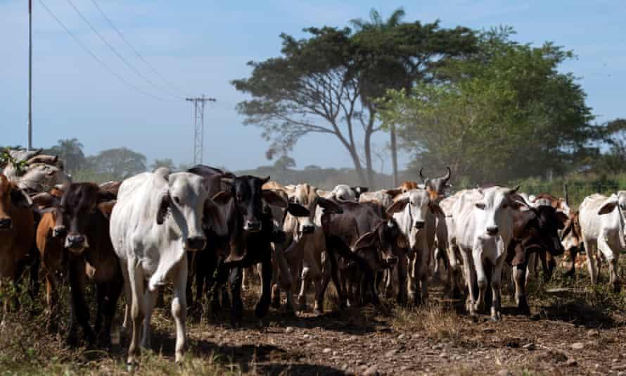 Cows at a ranch in San Silvestre, Venezuela.