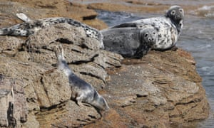Grey seals on rocks by St Mary's Lighthouse.