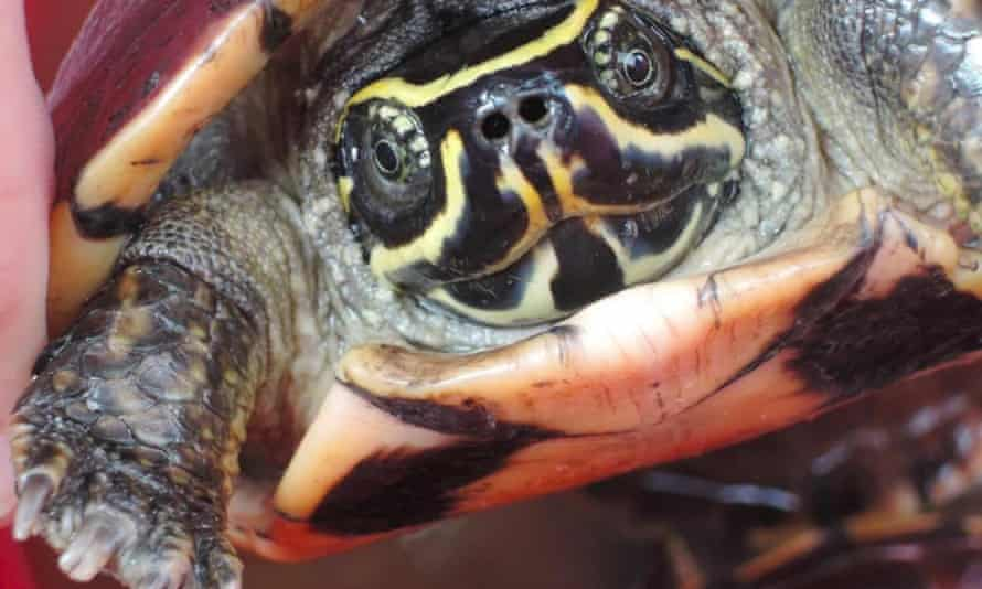 A snail-eating turtle discovered in the Greater Mekong region in 2016.