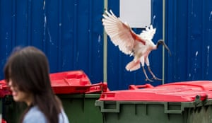 An ibis lands on a bin as a woman walks by. The bin's lid is shut; how will it surmount this obstacle to get to the tasty trash inside? This image doesn't make clear
