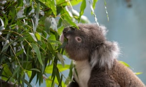 Koala Creek, eating leaves, Longleat