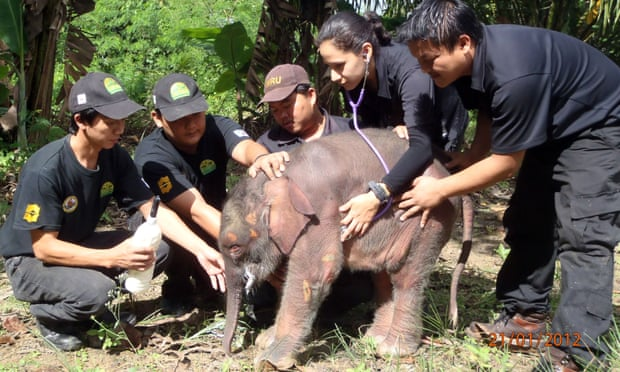 POLL: Should the slaughter of Borneo's pygmy elephants be stopped?