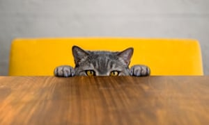 Cat peering over the edge of a table