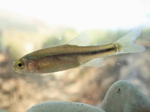 This fish species previously unknown to science was discovered in the area of the projected hydropower plant Poçem on the river Vjosa, Albania. It is yet to be named.