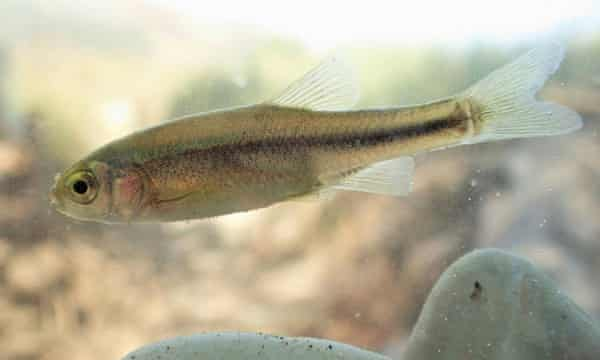 This, as yet unnamed fish species, previously unknown to science, is considered threatened by a planned hydropower plant Poçem on the river Vjosa, Albania