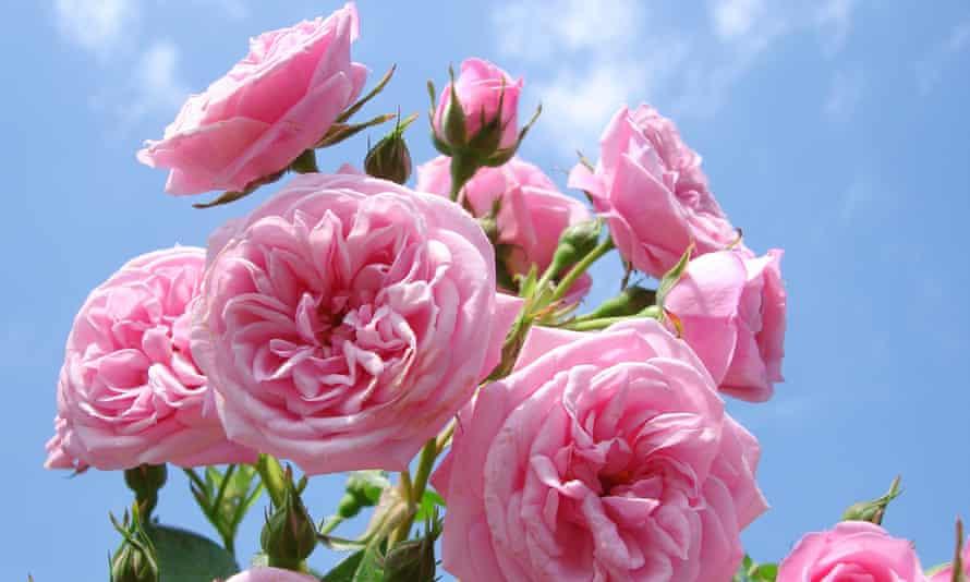 Pink patio rose Blue sky