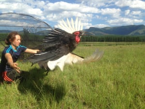 Kemp's colleague Natasha Nel releasing a wild southern ground hornbill after a health check