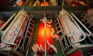 Sows in farrowing pens and their piglets. Photograph: Andia/Getty Images