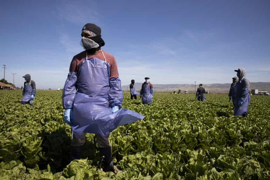 Farm workers maintain a safe distance while working a field in Greenfield, California.